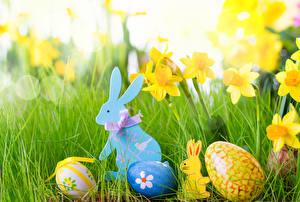 Картинка Праздники Пасха Кролик Нарциссы Яйца Траве
