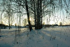 Hintergrundbilder Winter Birken Bäume Ast Schnee Natur