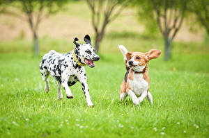 Images Dogs Two Dalmatian Beagle Grass Running Animals