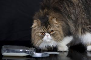 Fotos Katze Milch Flasche Tiere