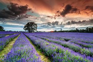 Fotos Felder Lavendel Wolke Natur