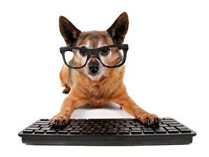 Hintergrundbilder Hunde Tastatur Chihuahua Brille Tiere