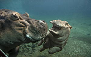 Photo Hippos Underwater world Cubs Two animal