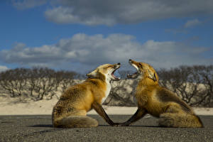 Photo Foxes Two Animals