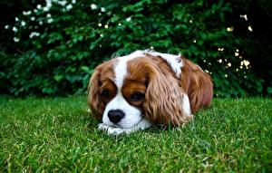 Fotos Hunde Spaniel Gras King Charles Spaniel