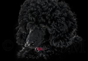 Hintergrundbilder Hund Pudel 1ZOOM
