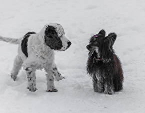 Fotos Hunde Spaniel Chinese Crested Schnee 1ZOOM English Cocker Spaniel