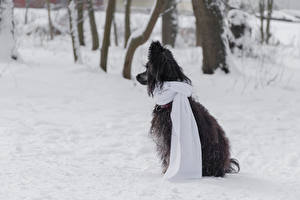Fotos Hunde Chinese Crested Schnee 1ZOOM