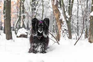 Bilder Hunde Chinese Crested Schnee 1ZOOM