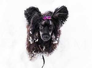 Hintergrundbilder Hunde Schnee Chinese Crested 1ZOOM ein Tier