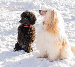 Hintergrundbilder Hunde Schnee Chinese Crested Pudel 1ZOOM