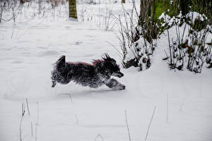 Fotos Hunde Schnee Chinese Crested Laufsport 1ZOOM