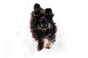 Hintergrundbilder Hunde Schnee Chinese Crested 1ZOOM