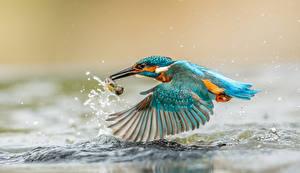 Hintergrundbilder Vögel Eisvogel Wasser