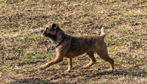 Pictures Dogs 1ZOOM Border Terrier animal