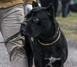 Wallpapers Dog Cane Corso Black 1ZOOM Animals