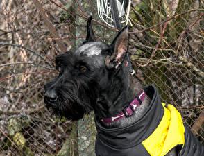 Wallpaper Dogs Giant Schnauzer Black 1ZOOM Animals