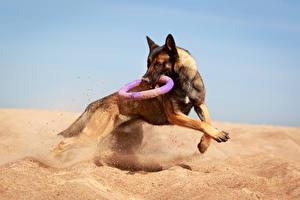 Hintergrundbilder Hunde Shepherd Sand Lauf
