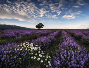 Hintergrundbilder Felder Lavendel Landschaftsfotografie Himmel Kamillen Natur Blumen