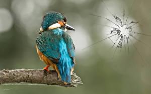 Bilder Vögel Eisvogel