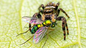Papel de Parede Desktop Aranhas moscas De perto Salticidae Animalia