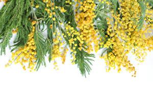 Hintergrundbilder Mimosen Gelb Ast Blumen