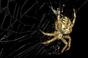Bakgrunnsbilder Edderkopp Nærbilde Edderkoppsilke Dyr