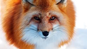 Bilder Füchse Blick Schnauze ein Tier