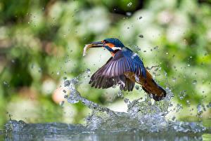 Bilder Vögel Eisvogel Spritzer Tropfen