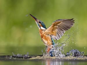 Hintergrundbilder Eisvogel Vögel Wasser Spritzer