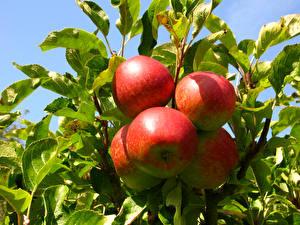 Bilder Obst Äpfel Blatt Lebensmittel