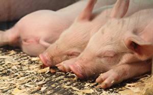 Photo Domestic pig Closeup Three 3