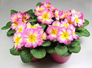 Bilder Schlüsselblumen Hautnah Blattwerk Blumen