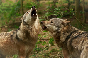Pictures Wolf Two animal