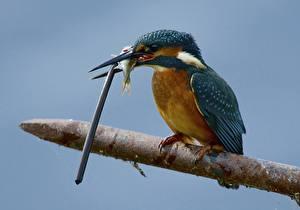 Fotos Eisvogel Fische Vögel Tiere