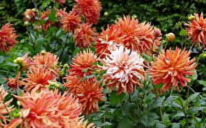 Hintergrundbilder Georginen Hautnah Blüte