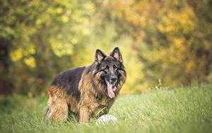 Fotos Hunde Gras Shepherd Tiere