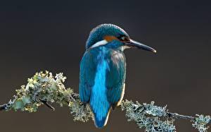 Hintergrundbilder Eisvogel Vögel Ast