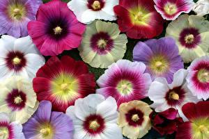 Bilder Malven Hautnah Viel Blumen