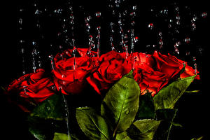 Wallpaper Rose Drops Red Foliage flower