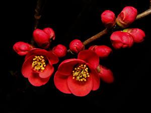Bilder Blühende Bäume Ast Japanische Kirschblüte Blumen
