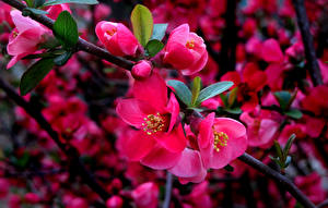 Hintergrundbilder Blühende Bäume Japanische Kirschblüte Ast Blumen