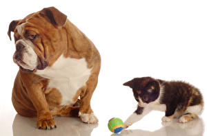 Images Dogs Cat Bulldog Kittens Two Ball animal