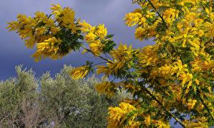 Bilder Mimosen Ast Blumen