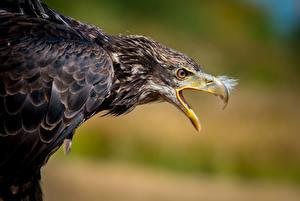 Wallpaper Eagles Bird Beak Animals