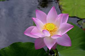 Bilder Hautnah Lotosblume Blumen