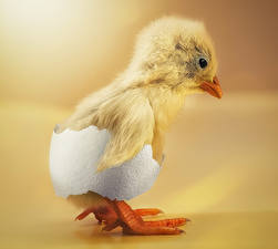 Fotos Vögel Hühner Großansicht Tiere