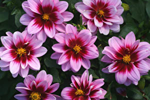 Bilder Georginen Hautnah Rosa Farbe Blüte