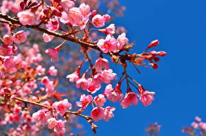 Fotos Blühende Bäume Rosa Farbe Ast Blumen