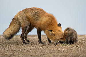 Wallpaper Foxes Cubs Two Animals